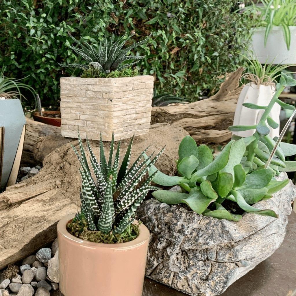 Succulents at Preston's Home & Garden Center
