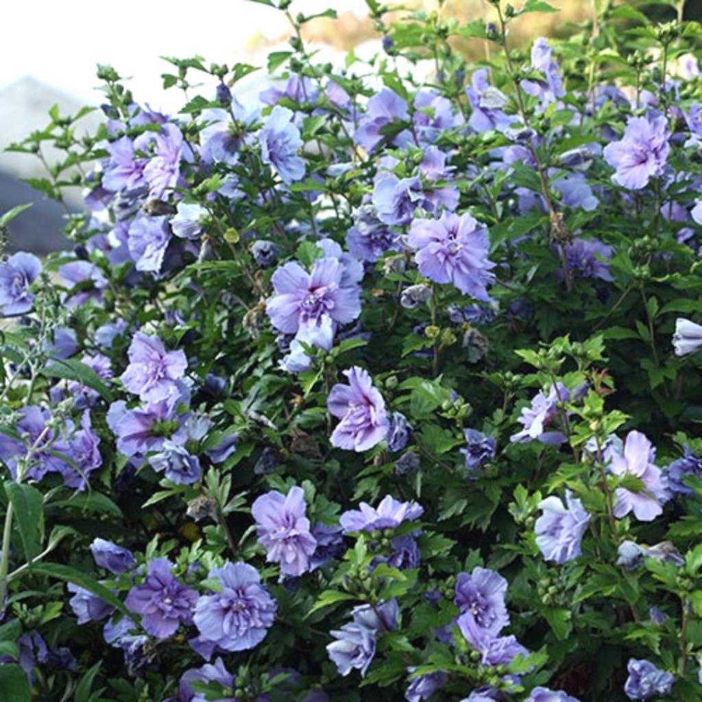 Blue Hibiscus Bush