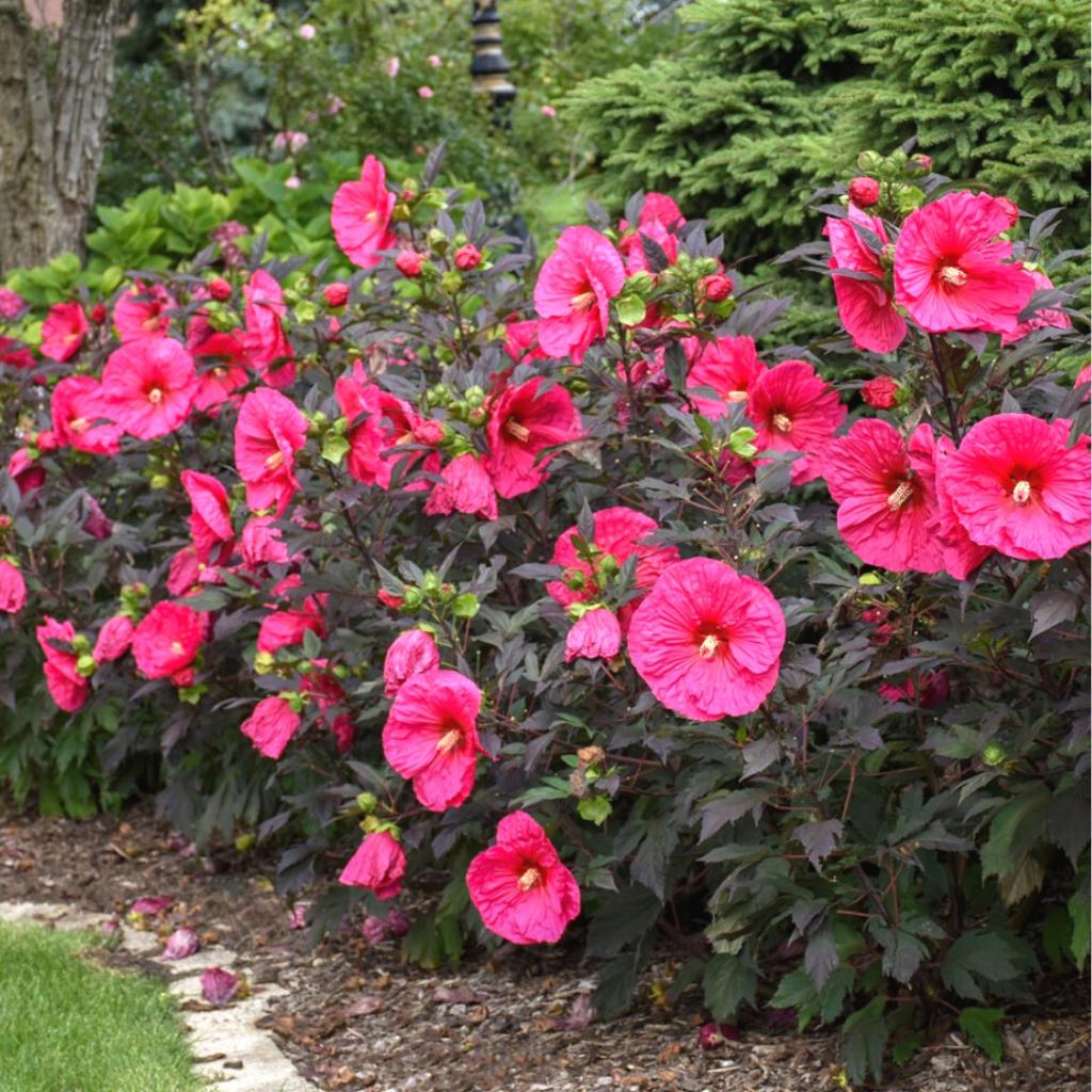 Pink Hibiscus Bush